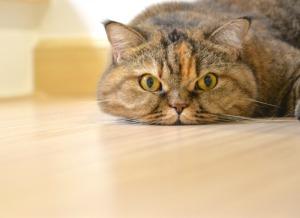 cat face on floor