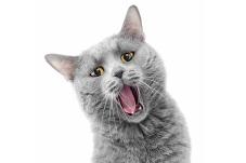 cat-caterwauling