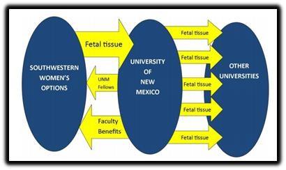 fetal tissue 5
