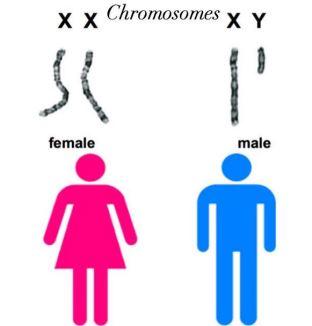 chromosones.JPG