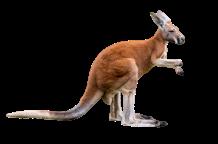 kangaroo_1-removebg-preview